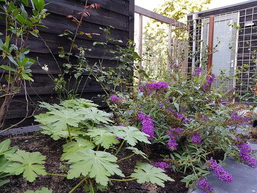vlinderstruik en geranium