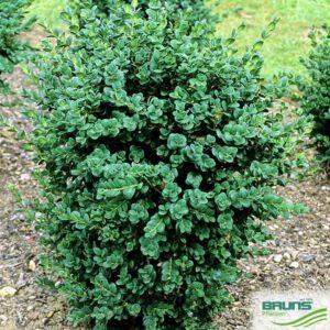 Busxus rotundifolia kopen